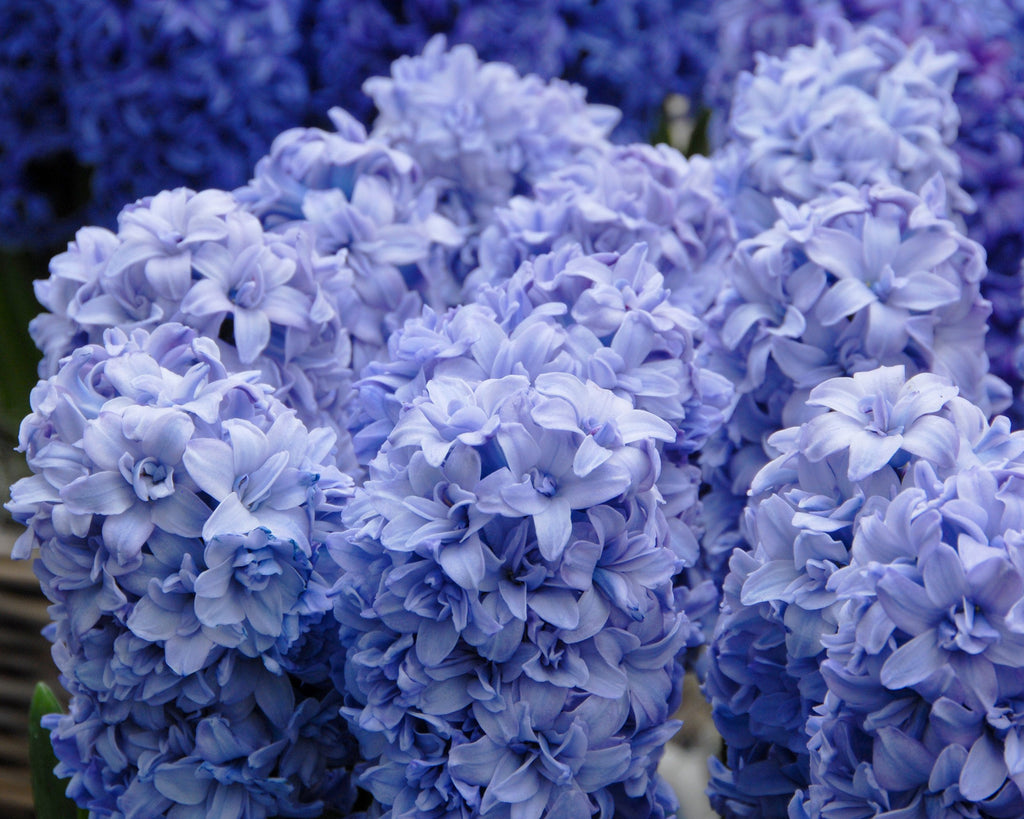 Soft Blue Double Hyacinths
