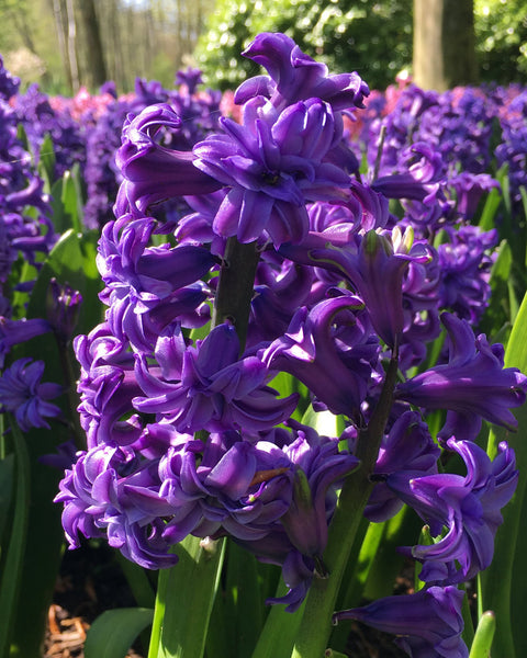 Hyacinth Lili Purple