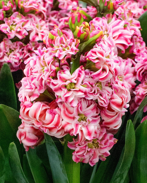 Hyacinth Double Eros