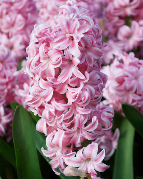 Flower BulbsPink Pearl Bulbs UK - 1