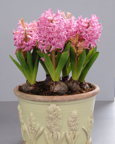 Flower BulbsPink Pearl Bulbs UK - 5
