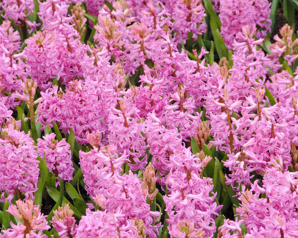 Flower BulbsPink Pearl Bulbs UK - 3
