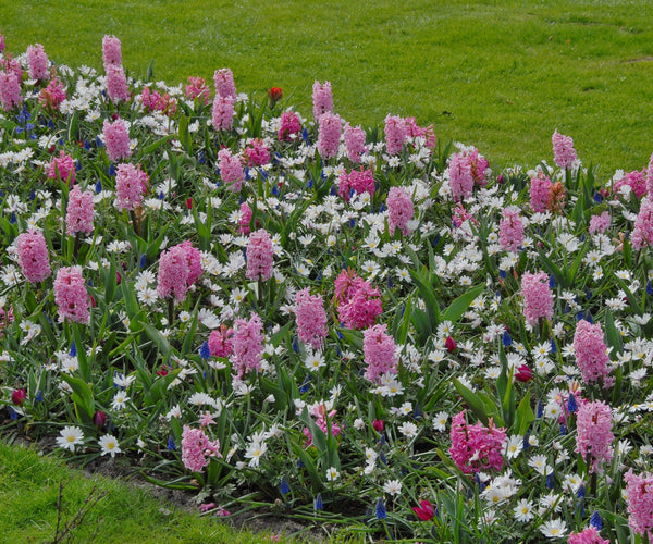 Flower BulbsPink Pearl Bulbs UK - 2