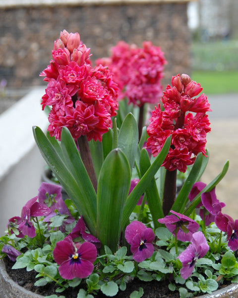 Flower BulbsRed Diamond Bulbs UK - 4