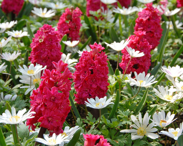 Flower BulbsRed Diamond Bulbs UK - 3