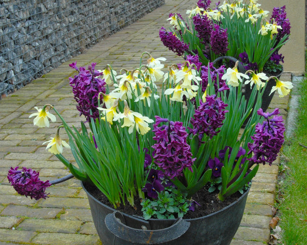 Flower BulbsWoodstock™ Bulbs UK - 2