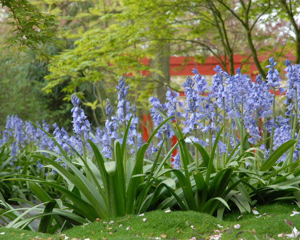 Hyacinthoides Excelsior