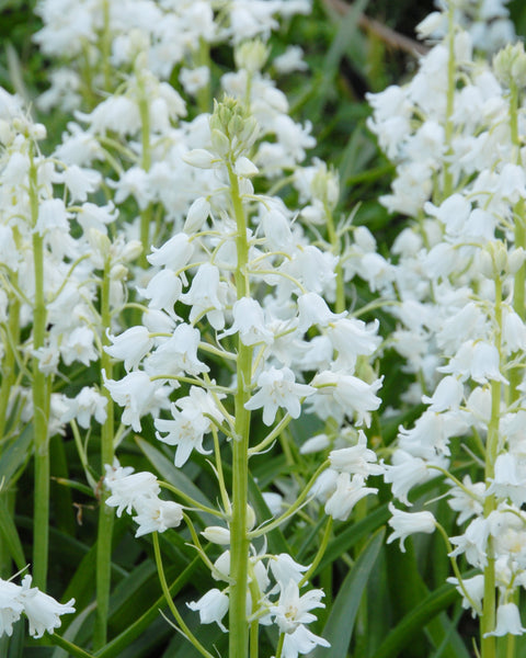 Hyacinthoides White City