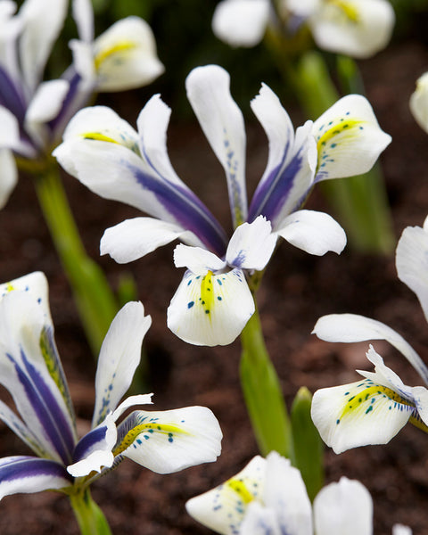 Iris Eye Catcher