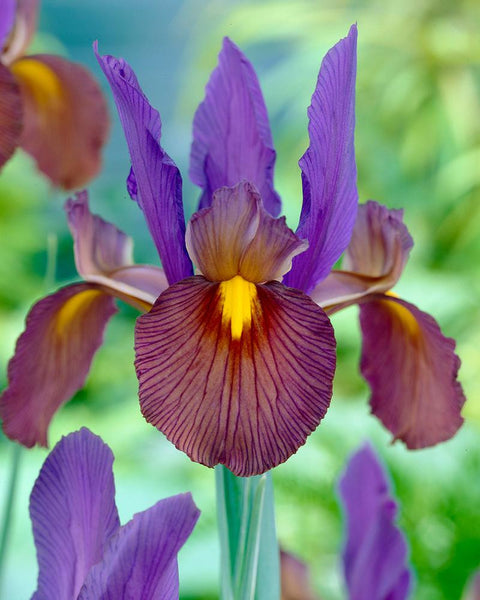 Dutch Iris Eye of the Tiger