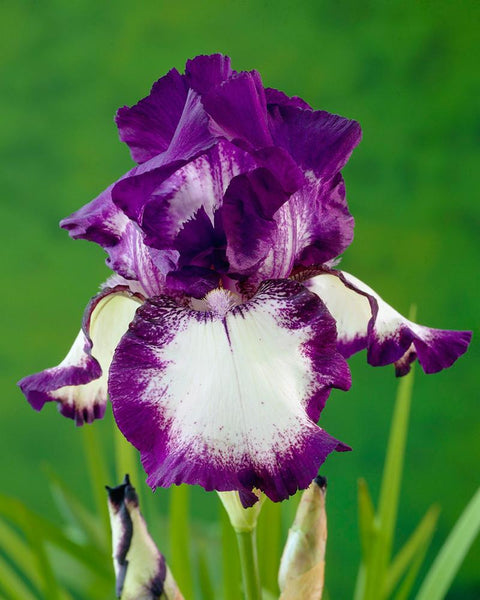 Bearded iris 39 loop de loop 39 bare roots buy online at - Iris germanica ...