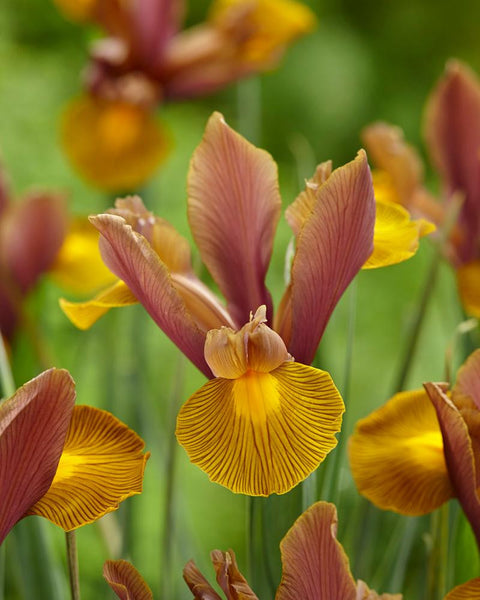 Dutch Iris Lion King