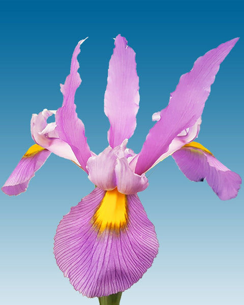 Dutch Iris Pink Panther