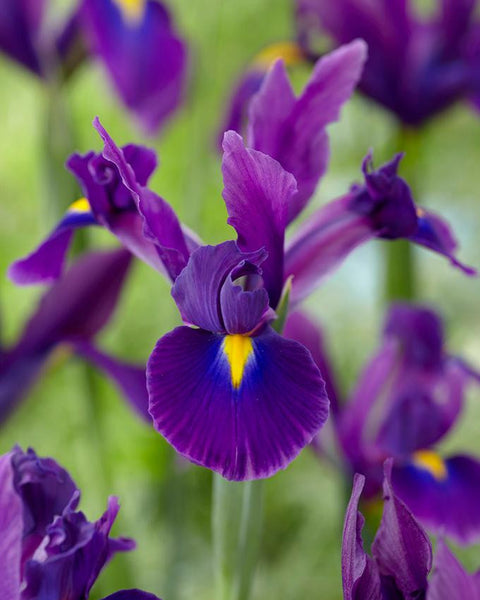 Dutch Iris Valentine