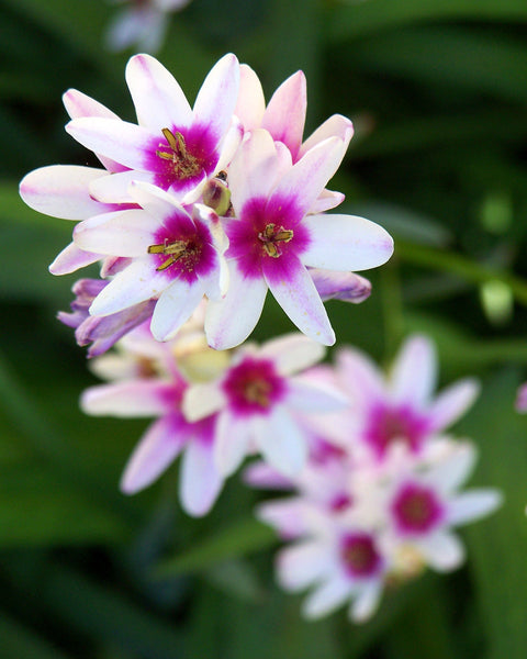 Ixia Mixed Colours