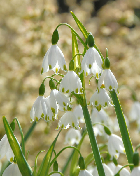 Flower BulbsGravetye Giant (Snowflake) Bulbs UK - 1