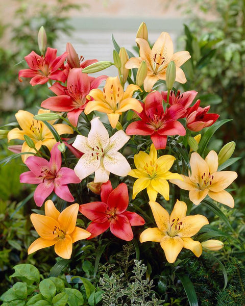 Lily Asiatic Mixed Colours