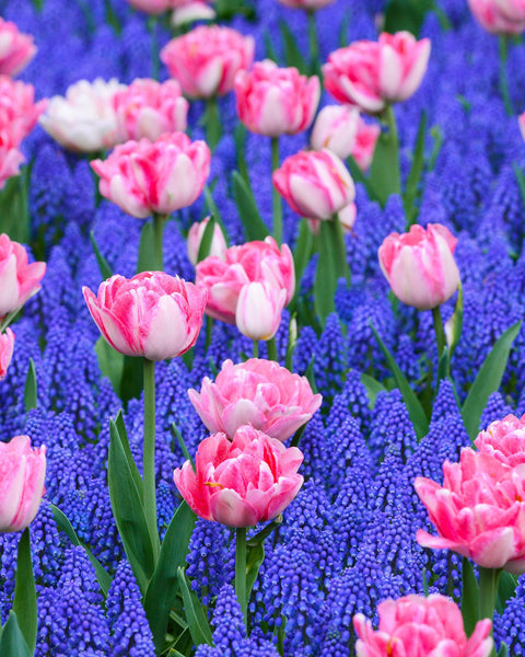 Flower BulbsMagenta Magic™ Bulbs UK - 1