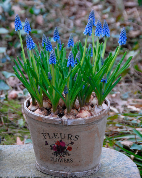Flower BulbsArmeniacum (Grape Hyacinth) Bulbs UK - 10