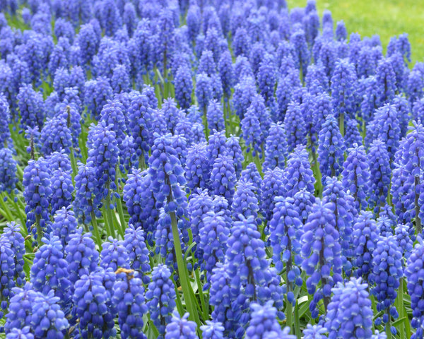 Flower BulbsArmeniacum (Grape Hyacinth) Bulbs UK - 12