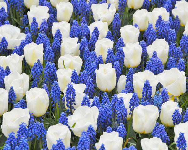 Flower BulbsArmeniacum (Grape Hyacinth) Bulbs UK - 2