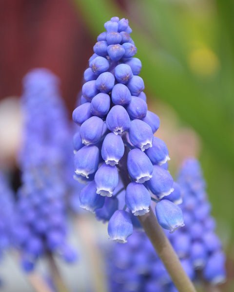 Flower BulbsArmeniacum (Grape Hyacinth) Bulbs UK - 1