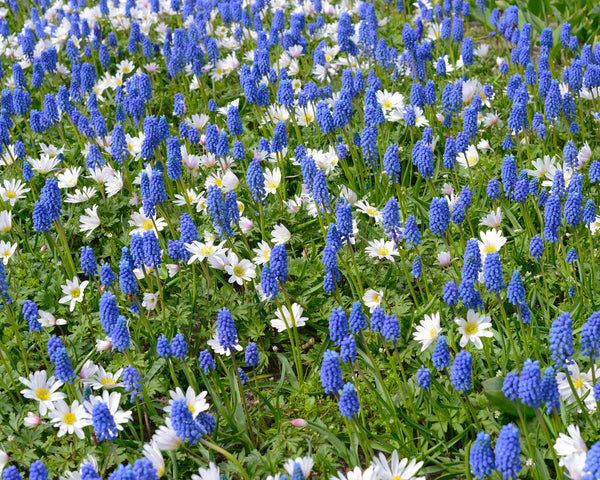 Flower BulbsArmeniacum (Grape Hyacinth) Bulbs UK - 3