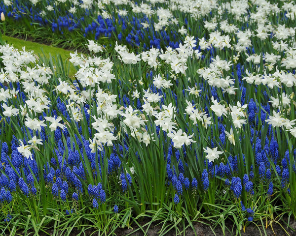 Flower BulbsArmeniacum (Grape Hyacinth) Bulbs UK - 4