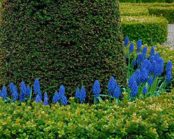 Flower BulbsArmeniacum (Grape Hyacinth) Bulbs UK - 9