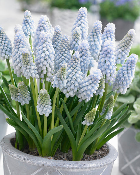 Muscari Baby's Breath®