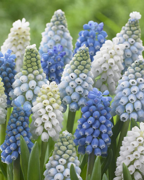 Muscari Collection Grapevine