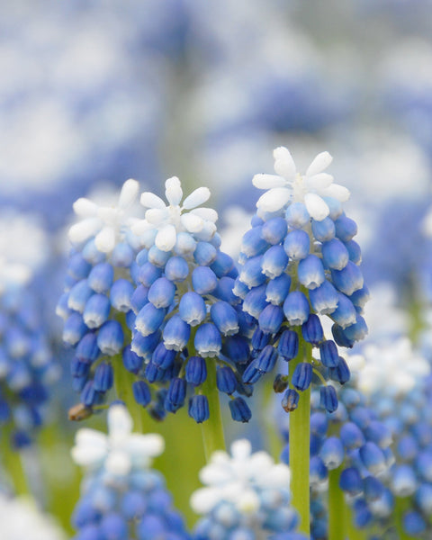 Flower BulbsMuscari Mount Hood Bulbs UK - 1