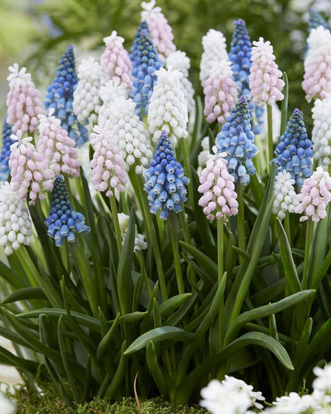 Muscari Collection Sommelier