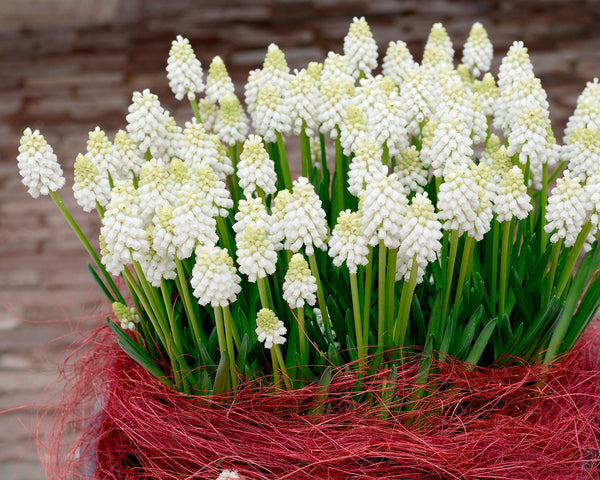 Flower BulbsWhite Magic Bulbs UK - 4
