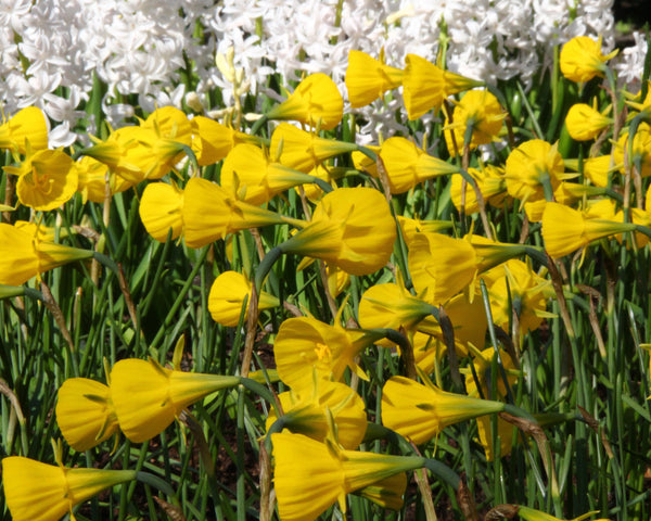Narcissus Golden Bells