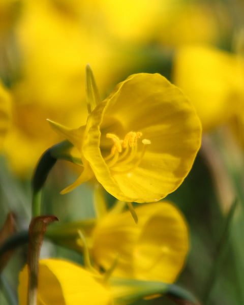 Narcissus bulbocodium Golden Bells