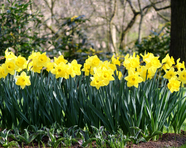 Narcissus Dutch Master Bulbs Buy Online At Farmer Gracy Uk