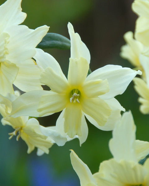 Narcissus Exotic Mystery