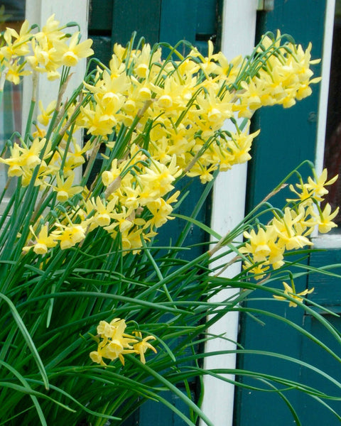 Flower BulbsHawera Bulbs UK - 1