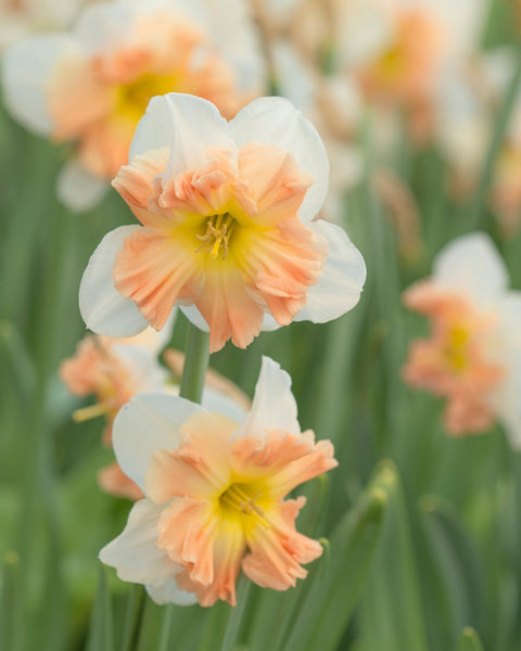 Flower BulbsMallee Bulbs UK - 1