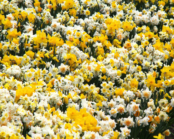 Narcissus Harlequin Mixed