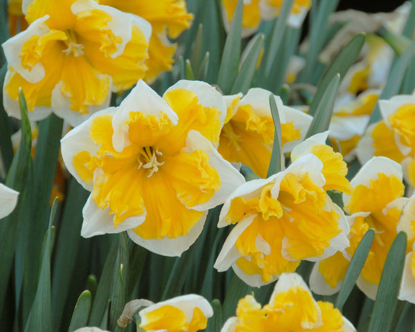 Size 12//14 Ship Now! Top Size Bulbs of Narcissus Orangery Butterfly Daffodil