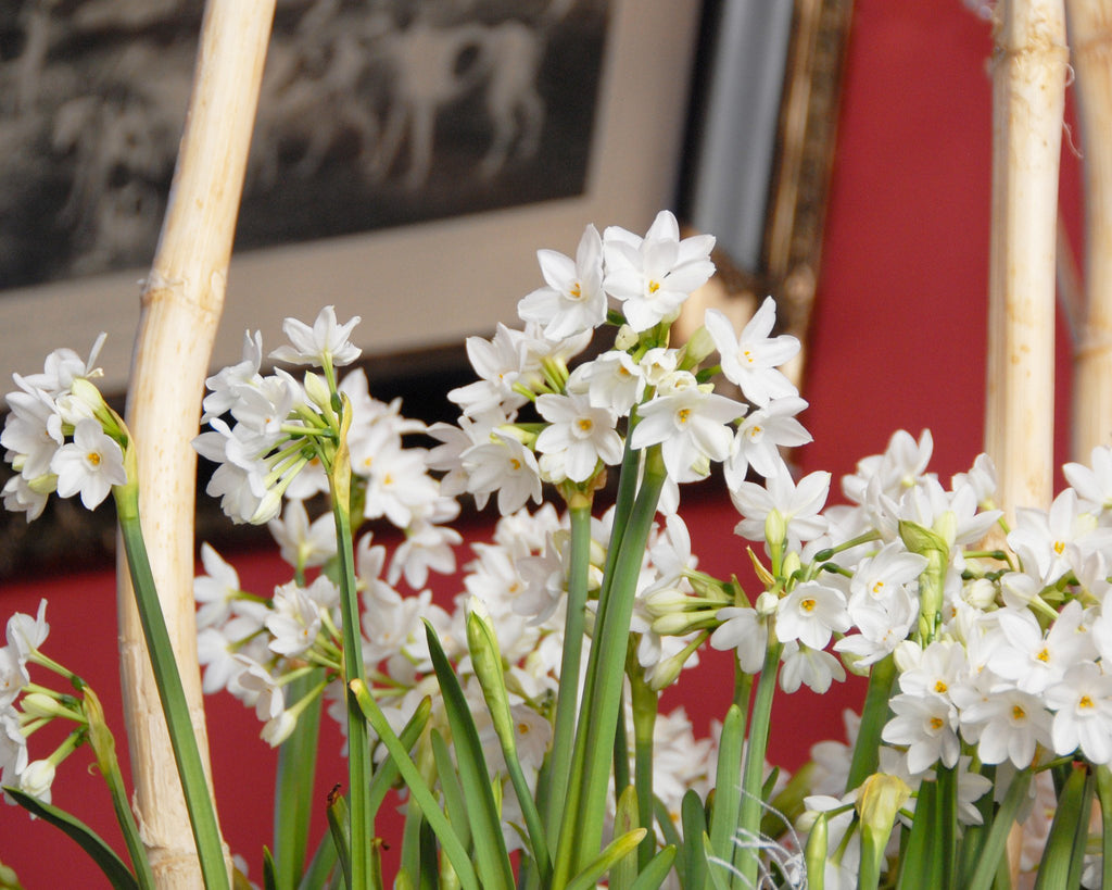 Paperwhites Narcissus