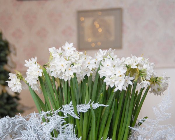 paper white bulbs Bring a dream-like feel as you wander through your garden with these wonderfully fragrant paperwhite narcissus blooms buy them today and enhance your outdoor experience.