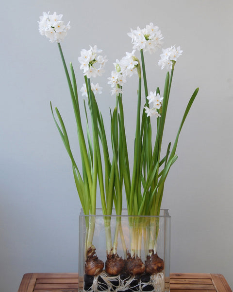 Flower Bulbstazetta Paperwhite Bulbs UK - 1