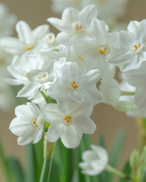 Narcissus tazetta Inbal
