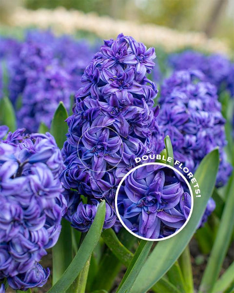 Flower BulbsRoyal Navy™ Bulbs UK - 1