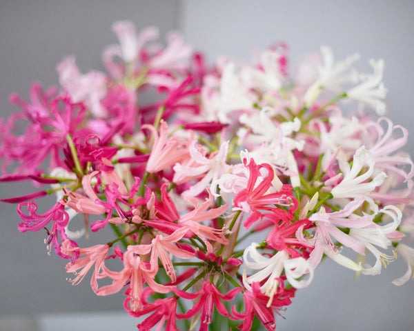 Nerine Select Breeders Mix