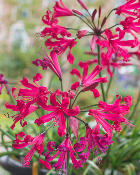 Nerine companion Mr John