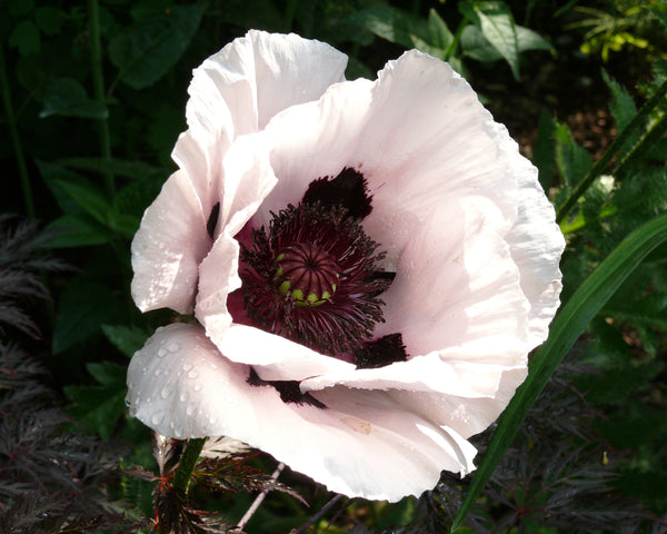 Papaver Perry's White
